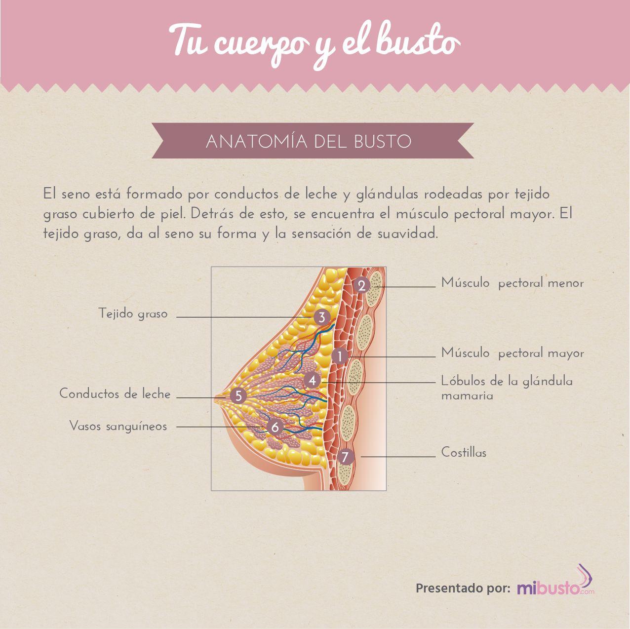 Anatomía del busto | MiBusto.com
